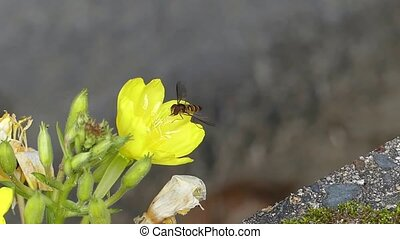 Wild nature honey bee bumblebee insect collecting nectar working on yellow flower dandelion in stunning close up shot