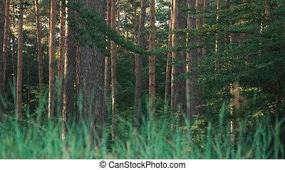 Wild Nature of Forest - Daytime shot of old pines in forest...