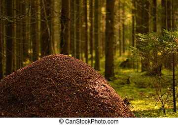 Wild nature of the anthill against the background of coniferous forest trees in the light of the morning sun