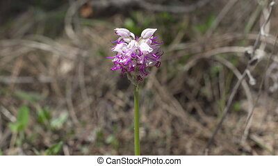 Wild Nature Orchis Italica Flower In The Forest, Background