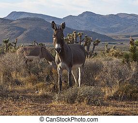 Wild Nevada Burros
