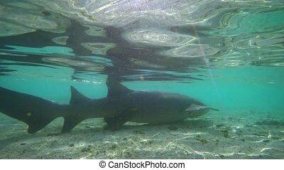 Wild Nurse Shark in Shallow Water in the Maldives