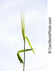 wild oats background