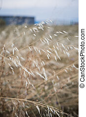 Wild oats field, selective focus