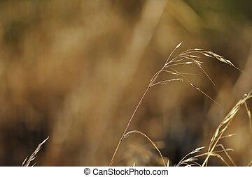 wild oats head