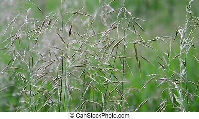 Wild oats in droplets of water after rain in summer - Wild...