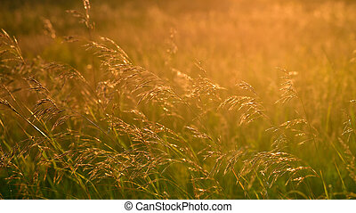 Wild oats in wind at sunset light