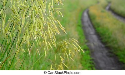 Wild oats wet from rain, near the dirt road - A wild oats...