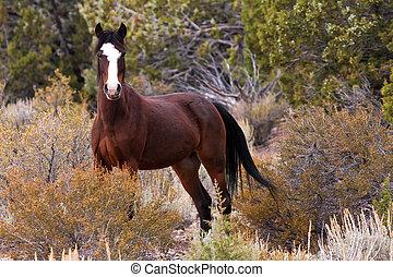 wild, open, verbreidingsgebied, paarde