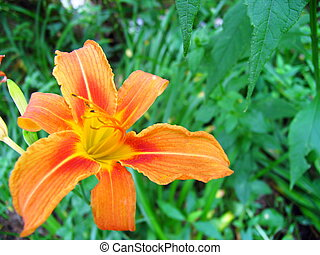 Lily 2