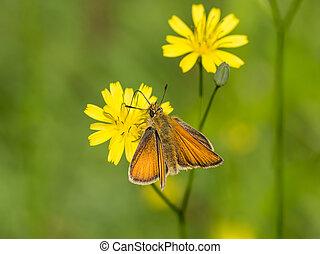 Wild orange moth on yellow flower