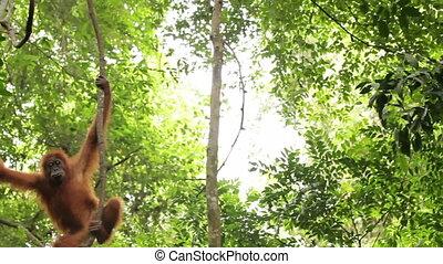 Wild orangutan climbing the vines in the wild jungle of...