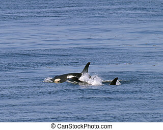 Wild orca whales - Two members of the orca whale pods near...