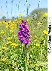 Wild orchid between yellow buttercups