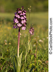 Wild orchid flower close up