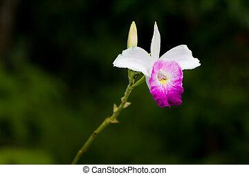 Wild orchid flower in nature, Thailand