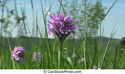 Wild Orchid Orchis tridentata detail - Wild Orchid (Orchis...