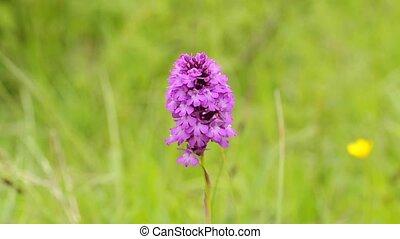 wild, orchidee