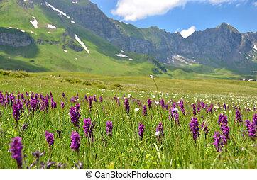 Wild orchids in an Alpine meadow. Melchsee-Frutt,...