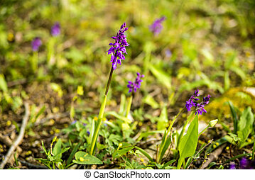 wild orchids in Germany in spring in a forest