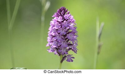 Wild orchids of Germany