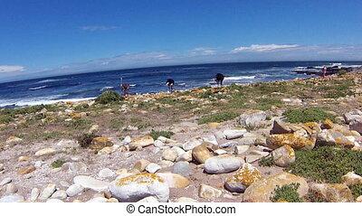 Wild Ostrich Cape Peninsula - Ostrichs, Struthio camelus, in...
