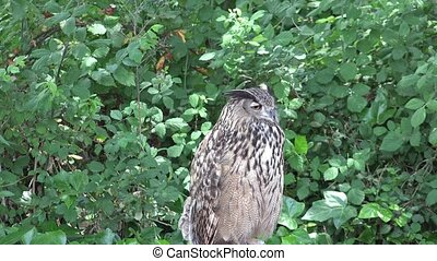 Wild Owl Turns And Winks