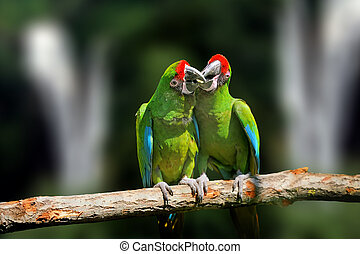Wild parrot bird, green parrot Great-Green Macaw, Ara ambigua