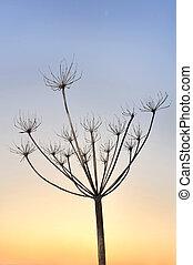 wild parsnip in winter - frail figure of a wild parsnip...