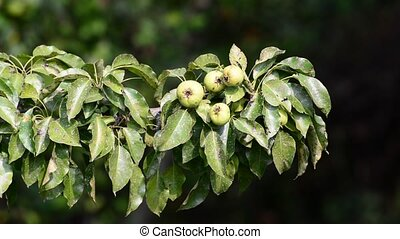 wild pear with fruit affected scab - wild pear with fruit...