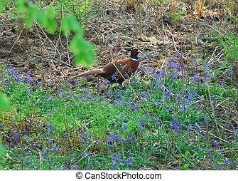 wild pheasant