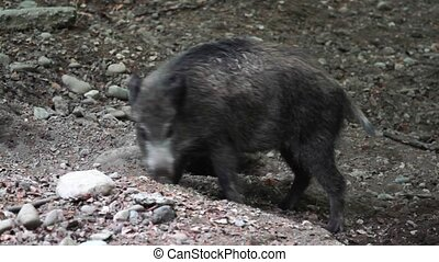 Wild Pig Baby - Graded and stabilized version. Watch also...