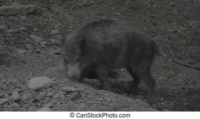 Wild Pig Baby - Native Material, straight out of the cam,...