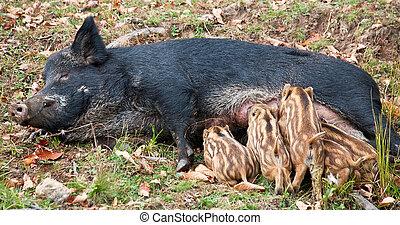 A wild pig is feeding her piglets