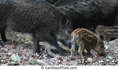 Wild Pig Mother With Babies - Graded and stabilized version....