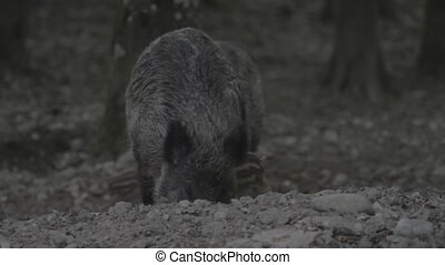 Wild Pig Mother With Babies - Native Material, straight out...