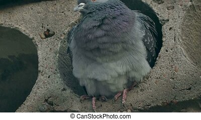 wild pigeon gray bird sitting in concrete slab looks - wild...