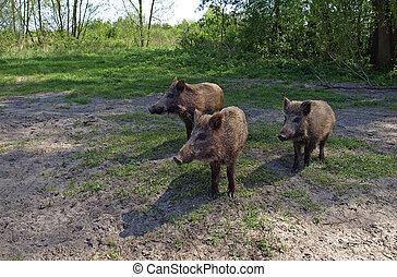 Wild pigs on the edge of a forest.