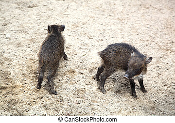 wild pigs  - small wild pigs in the sand