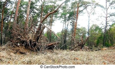 wild pine forest landscape nature dry roots - wild pine...