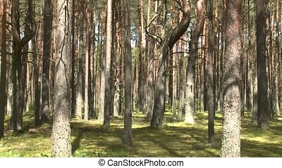 Wild pine forest with green moss under the trees. Tilt up...