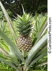 Wild pineapple - A ripe, healthy pineapple plant growing...