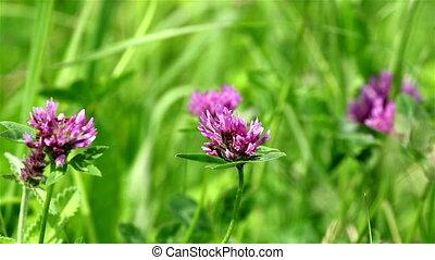 Wild pink clover - A close view of a wild pink clover on a...