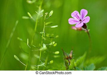 wild pink geranium