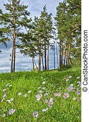 Wild plant of Siberia, Alpine Aster ( Aster alpinus L. )