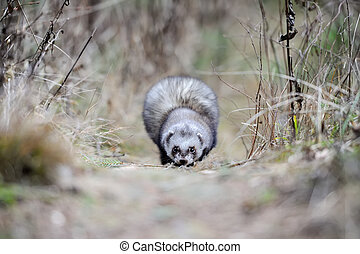 Wild polecat in forest - Close wild polecat in forest