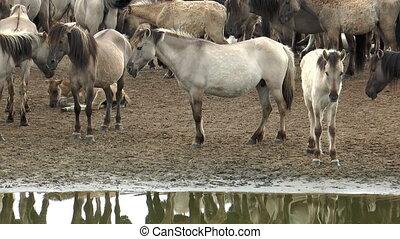 wild pony herd at waterhole