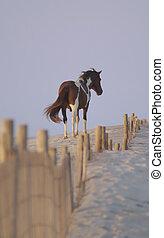 wild, pony, von, assateague, insel