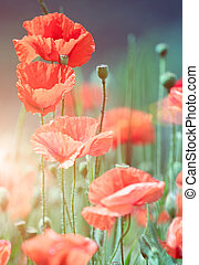wild poppies - Close-up of wild poppies growing in a green...