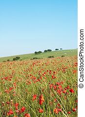 Wild Poppy Field in Summertime